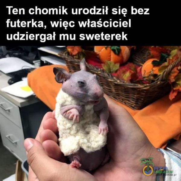 Ten chomik urodził się bez futerka, więc właściciel udz:ergał mu sweterek