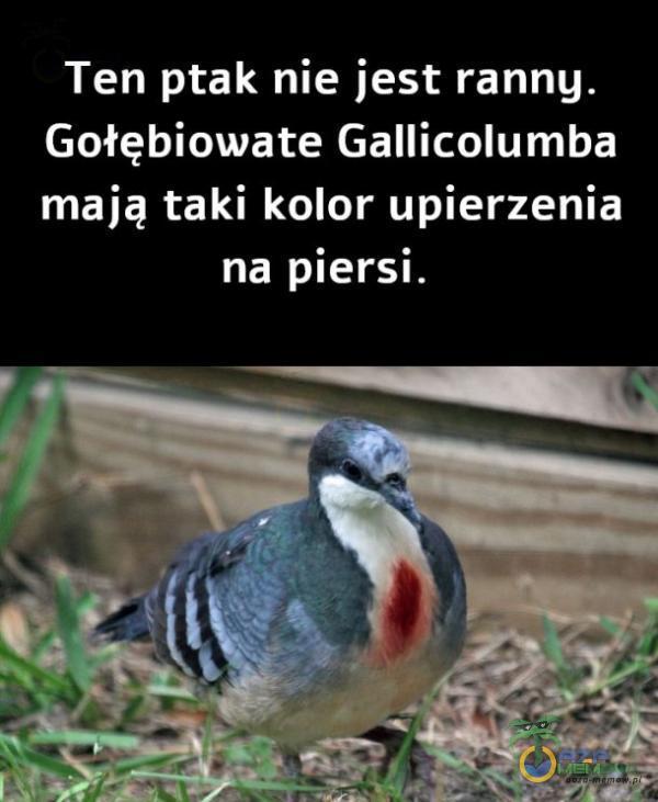 Ten ptak nie jest ranny. Gołębiowate Gallicolumba mają taki kolor upierzenia na piersi.