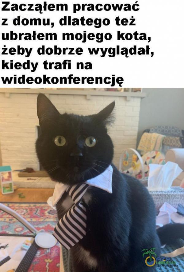 Zacząłem pracować z domu, dlatego też ubrałem mojego kota, żeby dobrze wyglądał, kiedy trafi na wideokonferencję