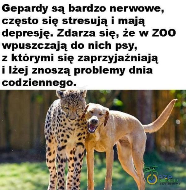 Gepardy są bardzo nerwowe, często się stresują i mają depresję. Zdarza się, że w Z00 wpuszczają do nich psy, z którymi się zaprzyjaźniają i lżej znoszą problemy dnia codziennego.
