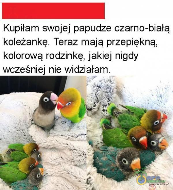 | Kupiłam swojej papudze czarno-białą koleżankę. Teraz mają przepiękną, kolorową rodzinkę, jakiej nigdy wcześniej nie widziałam.