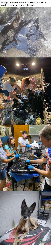 W Argentynie wolontariusze uratowali psa, Mory wpadł do dziury z czarną substancją. ,