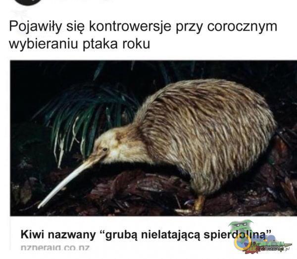 """Pojawiły się kontrowersje przy corocznym wybieraniu ptaka roku Kiwi nazwany grubą nielatającą spie***liną"""" n7nerałr1 co rw"""