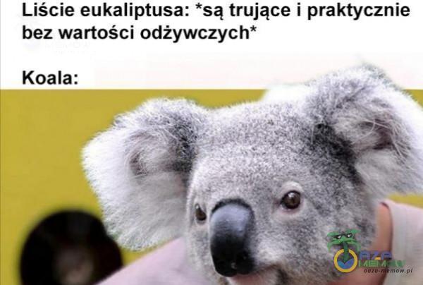 """Liście eukaliptusa: są trujące i praktycznie bez wartości odżywczych"""" Koala:"""