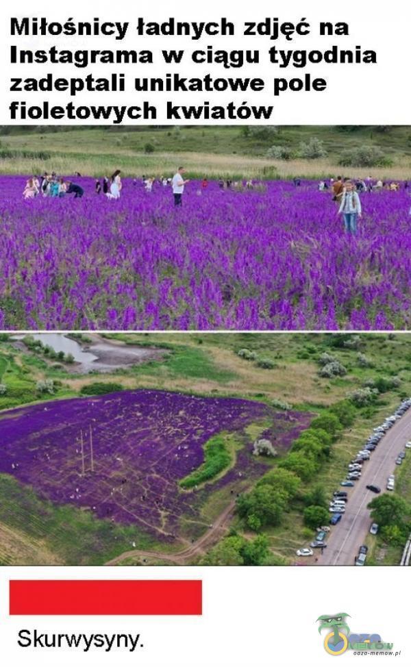 Miłośnicy ładnych zdjęć na Instagrama w ciągu tygodnia zadeptali unikatowe pole fioletowych kwiatów