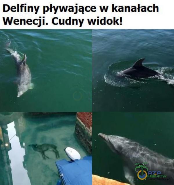Delfiny pływające w kanałach Wenecji. Cudny widok! 8