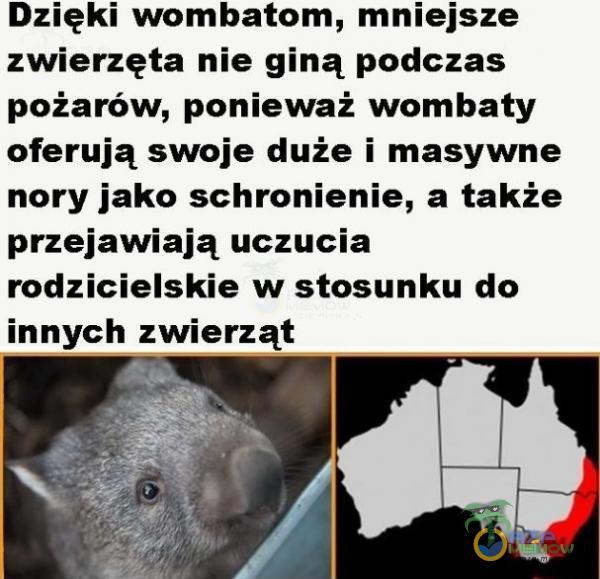 Dzięki wombatorn, mniejsze zwierzęta nie giną podczas pożarów, ponieważ wombaty oferują swoje duże i masywne nory jako schronienie, a także przejawiają uczucia rodzicielskie w stosunku do innych zwierząt