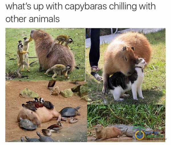 whaťs up with capybaras chilling with Other animals