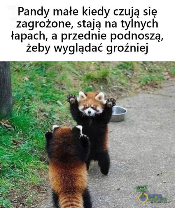 Pandy małe kiedy czują się zagrożone, stają na tylnych łapach, a przednie podnoszą, żeby wyglądać groźniej
