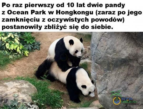 Po raz pierwszy od 10 lat: dwie pandy z Ocean Park w Hongkongu (zaraz po jego zamknięciu z oczywistych powodów)