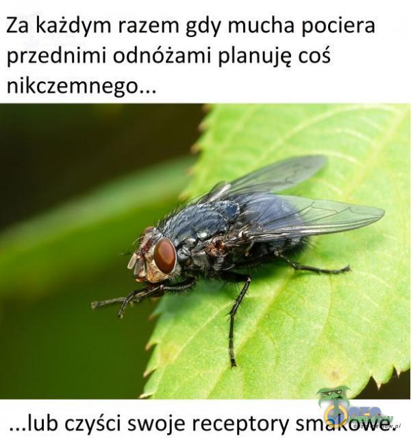 """Za każdym razem gdy mucha pociera przednimi odnóżami anuję coś """"""""lub czyści swoje receptory smakowe."""